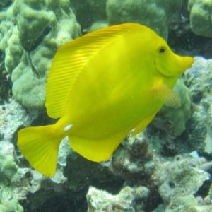 yellow tang close clear small 2